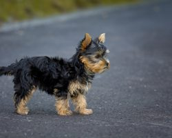 En yorkshireterrier